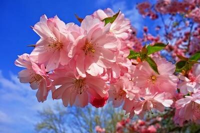 セイヨウザクラの花
