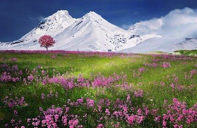 雪山と花が咲く草原