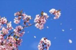 風に舞う桜の花