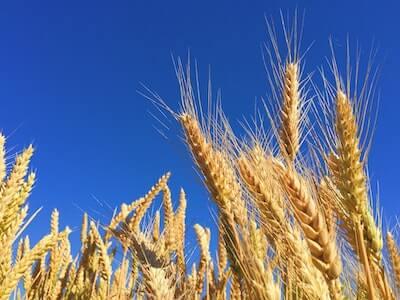 青空に映える小麦の穂