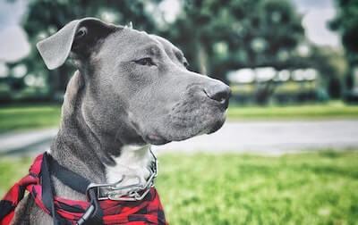 グレーの犬