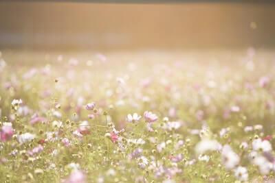 初秋のコスモス畑