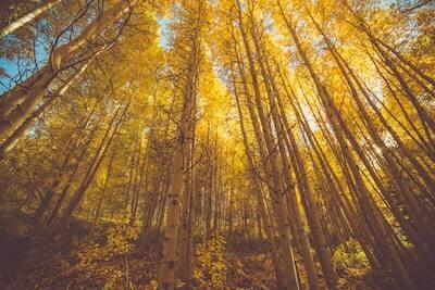 黄色く色付いたイチョウの木