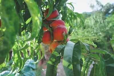 桃の木になる桃の実