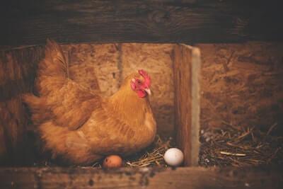 卵を温める鶏