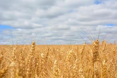 黄金色に実った麦の穂