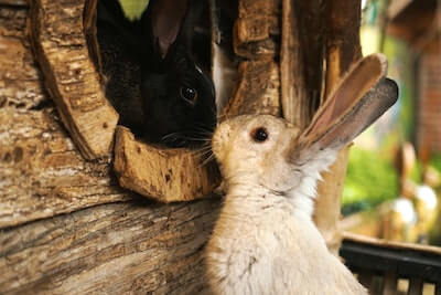 ウサギ小屋のうさぎ