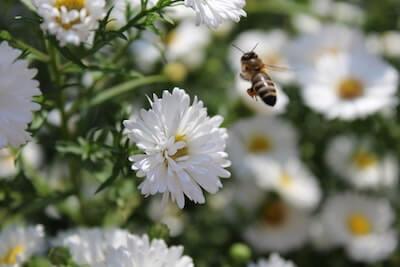 花の周りを飛ぶミツバチ