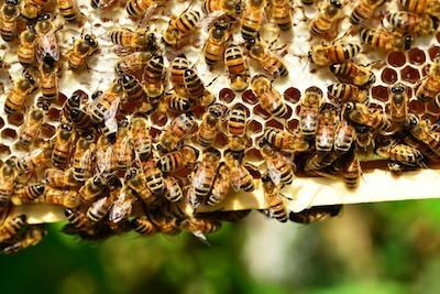 巣箱の中のミツバチの集団