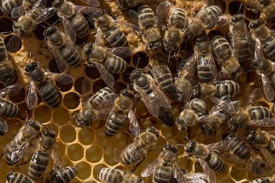 巣の中心の女王バチ