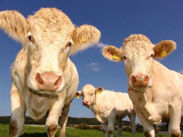 白い3頭の牛