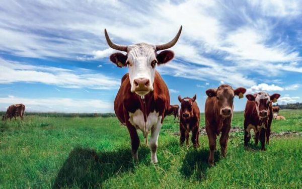 放牧された3頭の牛