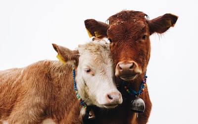 2頭のつがいの牛