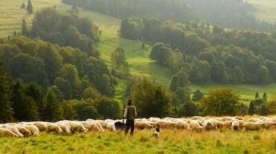 羊の群れと犬