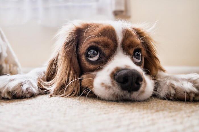 床に寝そべる犬