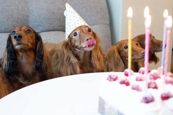 誕生日を祝う4匹のミニチュアダックス
