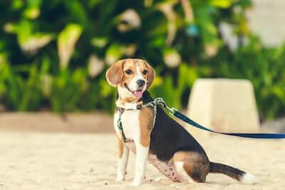 ビーグルの盲導犬