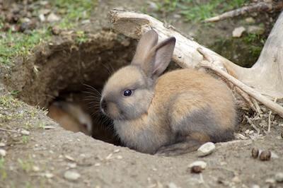 穴から出たウサギ