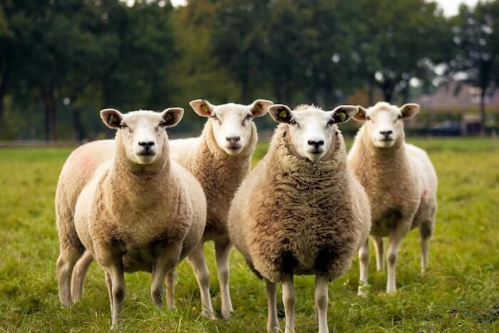 こちらをみている4頭の羊
