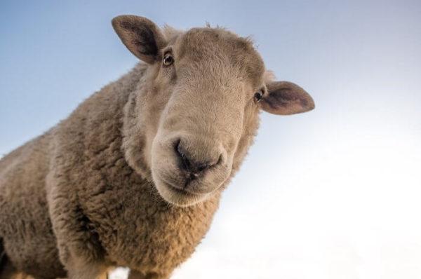 1頭の羊の顔