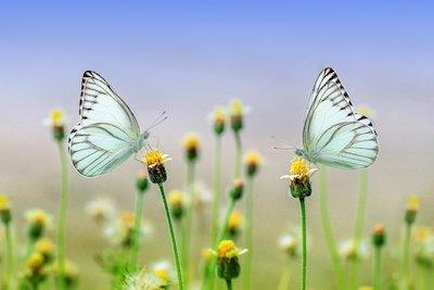 2匹の白い蝶