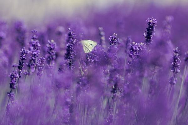 ラベンダー畑の蝶