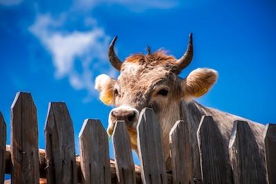 角の生えた雄牛