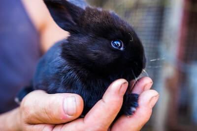 手の上に乗っている黒いウサギ