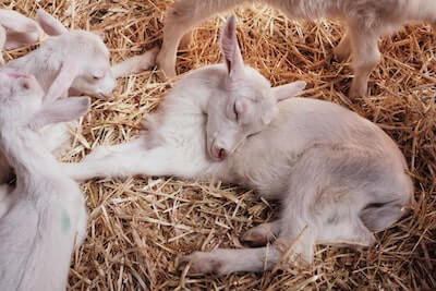 藁の上で寝ている子山羊