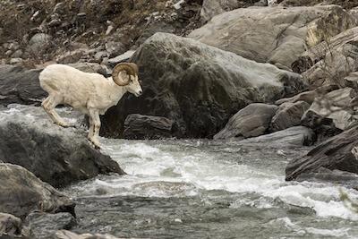 川を飛び越えようとしている山羊