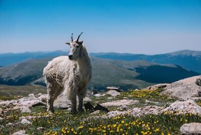 野生の山羊