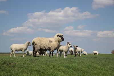 羊の群れと雲
