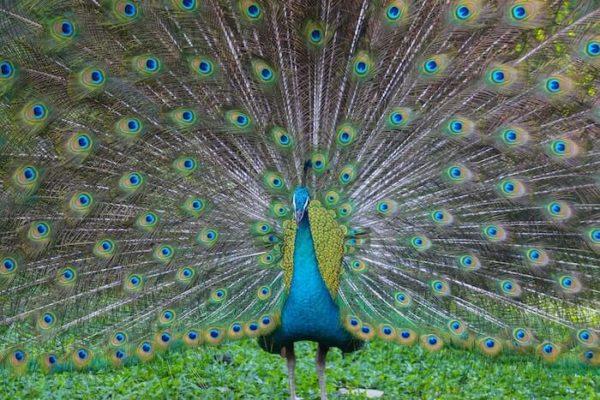 尾の羽を広げた雄の孔雀