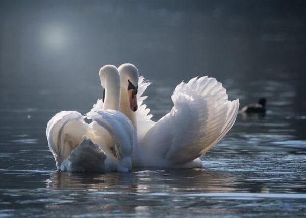 水面に浮かぶ2羽の白鳥