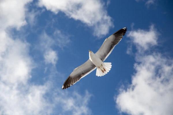 翼を広げて飛ぶかもめ