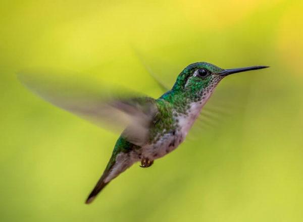 羽ばたく蜂鳥