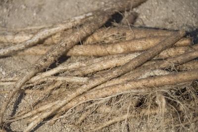 ごぼうの根