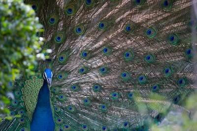 孔雀の尾羽