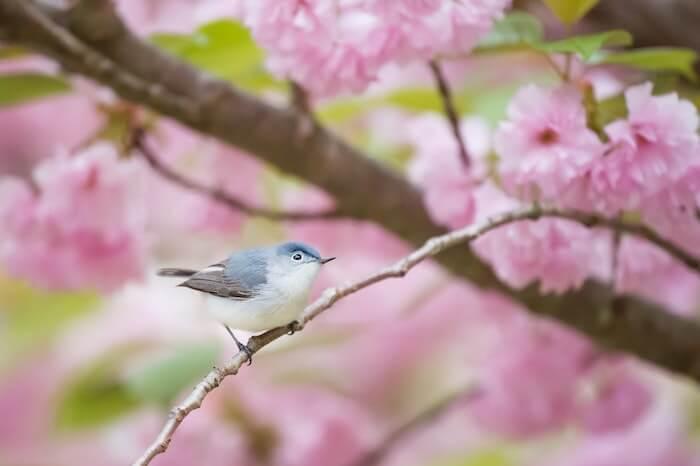 桜の枝の小鳥