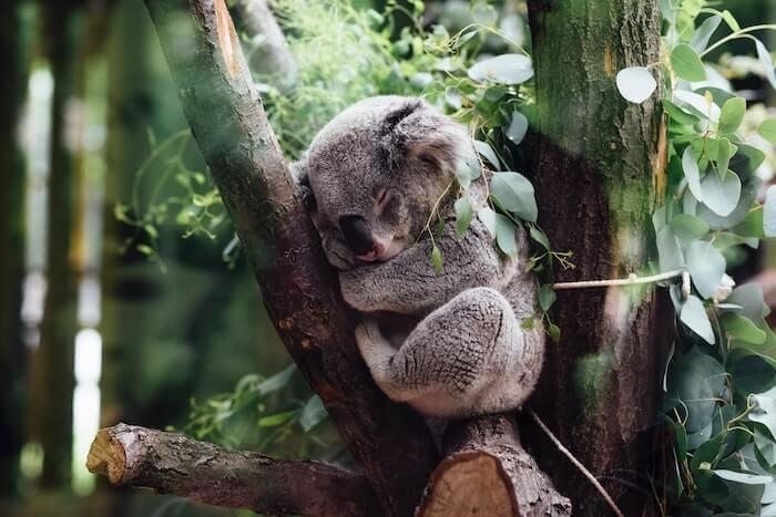 木の上で眠るコアラ