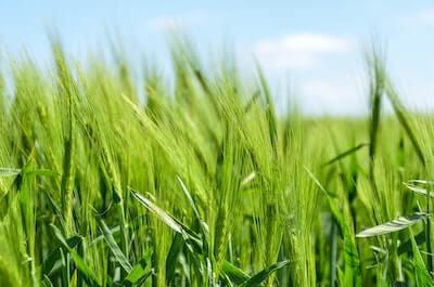 麦の青い稲穂