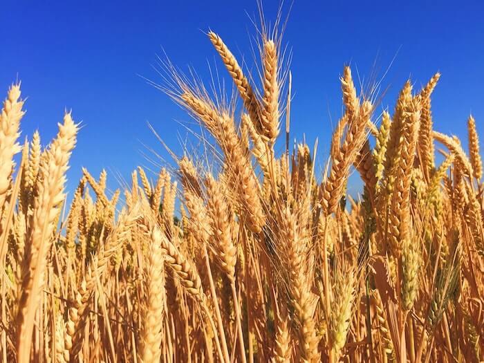 実った収穫前の麦