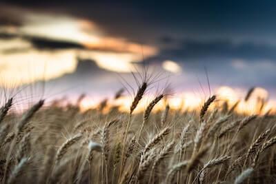 風に揺れる小麦の穂